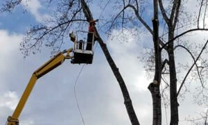 Spider lift being used to trim the top of a tree