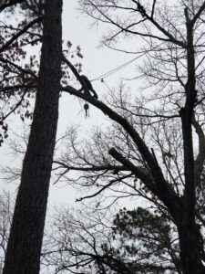 Tree service employee trimming high branches using a harness